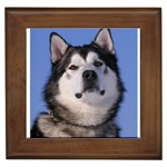 Alaskan Malamute Dog Framed Tile